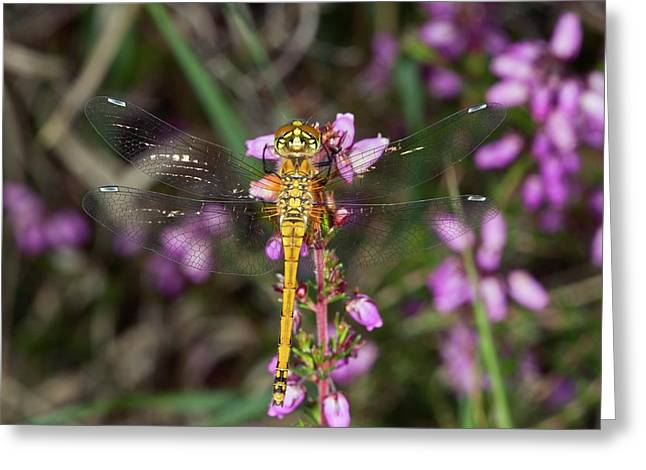 Black Darter Dragonfly Greeting Card by Bob Gibbons
