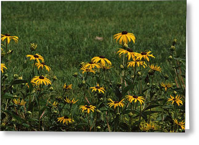 Fragility Photographs Greeting Cards - Black-eyed Susan Flowers Rudbeckia Greeting Card by Panoramic Images