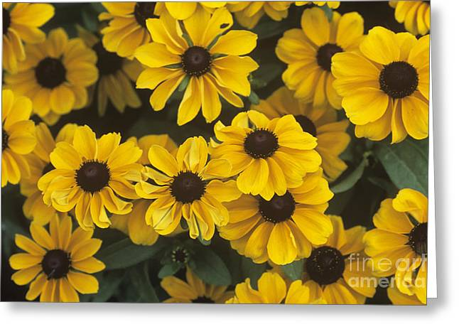 Toto Greeting Cards - Black-eyed Susan Rudbeckia Hirta Toto Greeting Card by Adrian Thomas