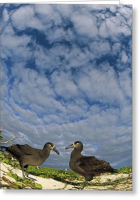 Wildlife Celebration Greeting Cards - Black-footed Albatross Courtship Dance Greeting Card by Tui De Roy