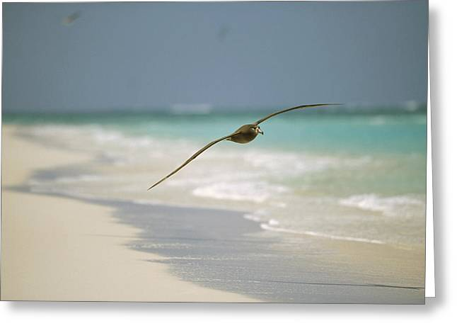 Diomedeidae Greeting Cards - Black-footed Albatross Flying Midway Greeting Card by Tui De Roy