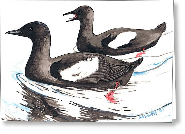Seabirds Mixed Media Greeting Cards - Black Guillemot Greeting Card by Art  MacKay