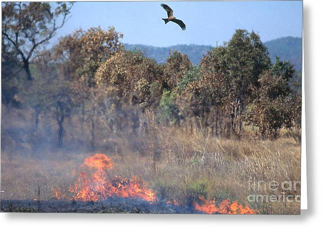 Kite Greeting Cards - Black Kites Over Brush Fire Greeting Card by Gregory G. Dimijian, M.D.