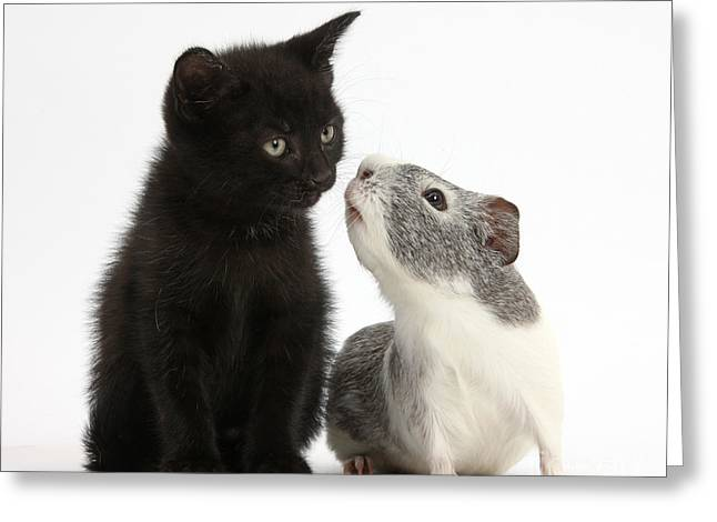 Cavy Greeting Cards - Black Kitten And Guinea Pig Greeting Card by Mark Taylor