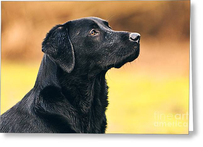 Recently Sold -  - Working Dog Greeting Cards - Black Labrador Portrait Greeting Card by Justin Paget