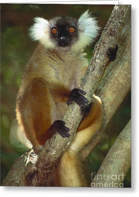Sit-ins Greeting Cards - Black Lemur Greeting Card by Art Wolfe