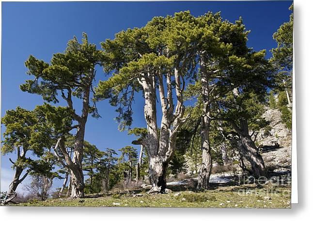 Pinus Greeting Cards - Black Pine Pinus Nigra Ssp. Pallasiana Greeting Card by Bob Gibbons