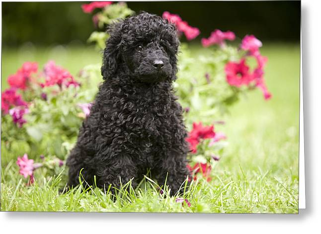 Canid Greeting Cards - Black Poodle Greeting Card by Jean-Michel Labat