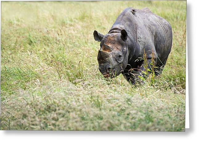 Critically Endangered Animal Greeting Cards - Black rhinoceros diceros bicornis michaeli in captivity Greeting Card by Matthew Gibson