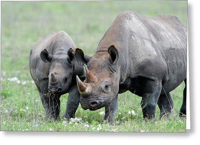 Female Animal Greeting Cards - Black Rhinoceros Diceros Bicornis Greeting Card by Panoramic Images
