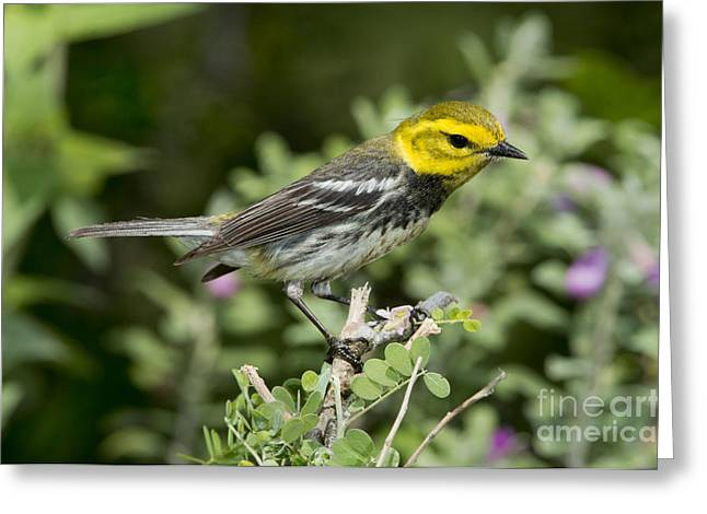 Setophaga Greeting Cards - Black-throated Green Warbler Greeting Card by Anthony Mercieca
