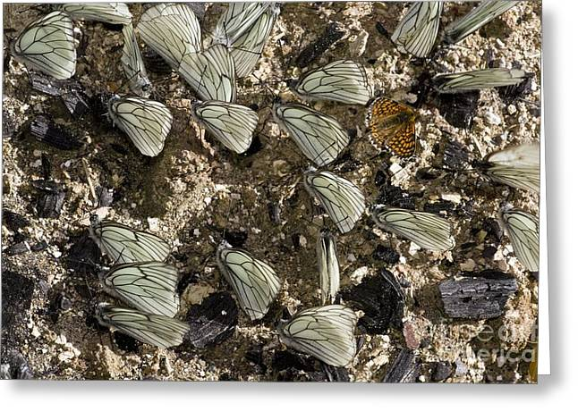 Invertebrates Greeting Cards - Black-veined White Butterflies Greeting Card by Bob Gibbons