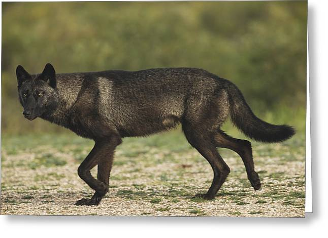 Black Wolf Canis Lupus Along The Coast Greeting Card by Robert Postma