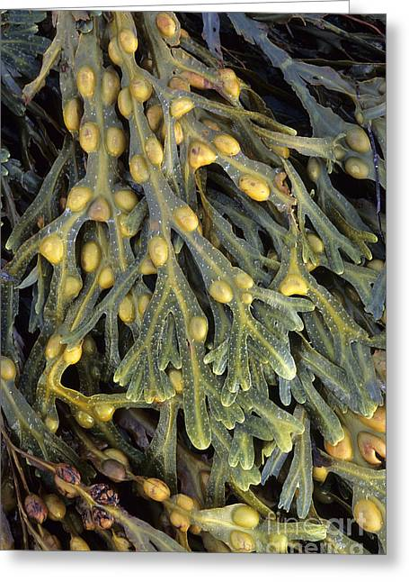 Algal Greeting Cards - Bladder Wrack Fucus Vesiculosus Greeting Card by Adrian Bicker