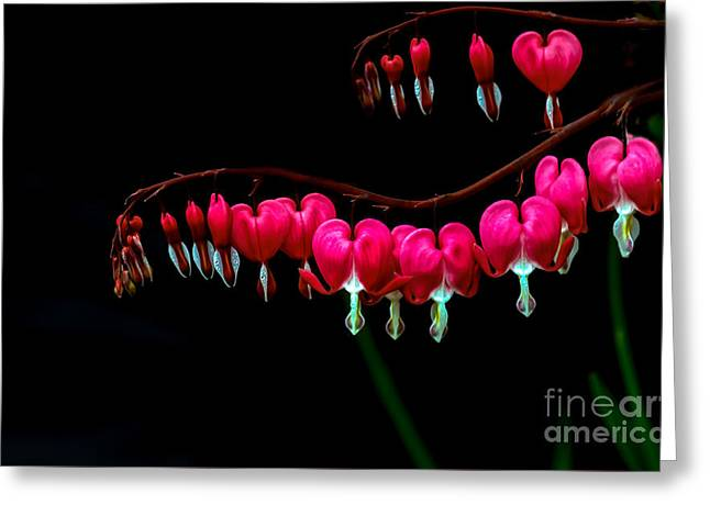 Shades Of Red Greeting Cards - Bleeding Hearts Greeting Card by Robert Bales