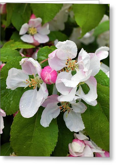 Blossom Of Crab Apple Malus Red Jade Greeting Card by Dr Jeremy Burgess