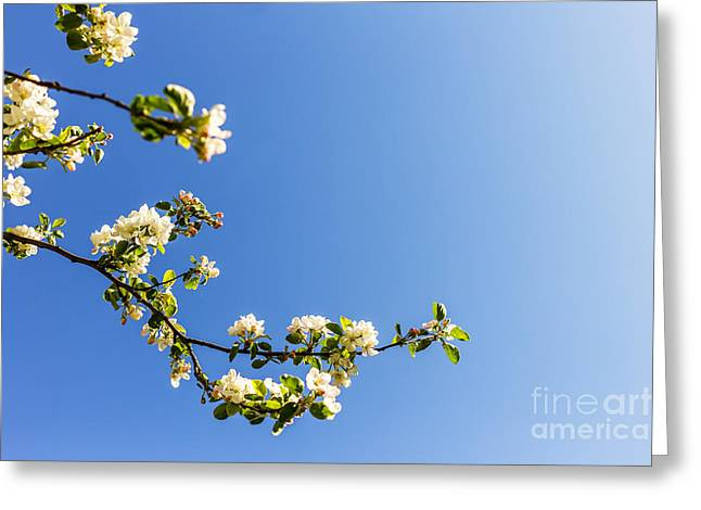 Apricot Greeting Cards - Blossoming twigs Greeting Card by Aleksey Tugolukov