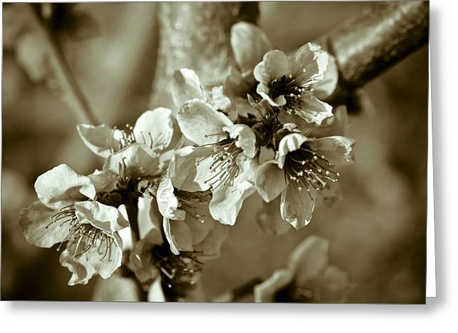 Blossoms Greeting Card by Frank Tschakert