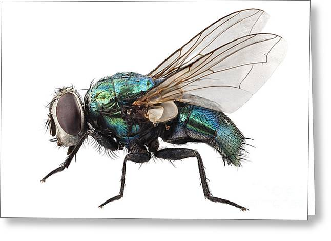 Clipping Path Greeting Cards - blow fly species Lucilia caesar Greeting Card by Pablo Romero