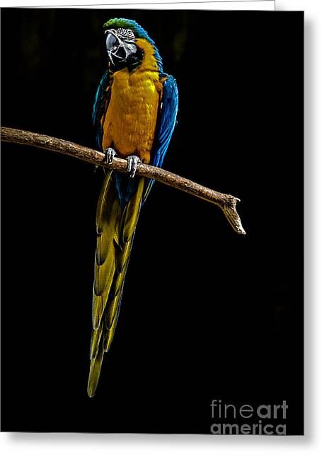 Green Forehead Greeting Cards - Blue-and-yellow Macaw Greeting Card by Dianne  Paul