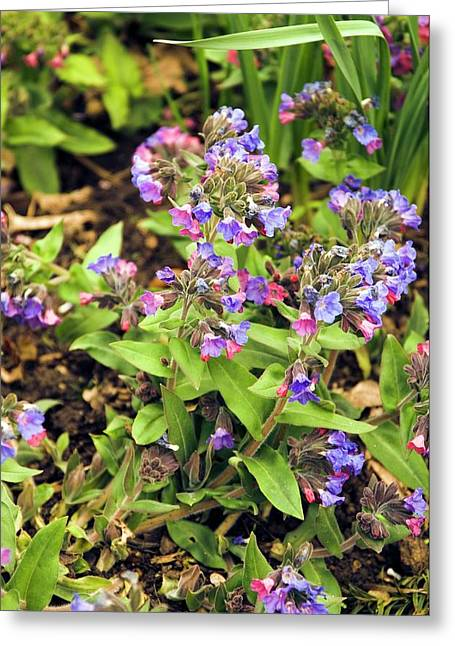 Blue Cowslip (pulmonaria Angustifolia) Greeting Card by Adrian Thomas