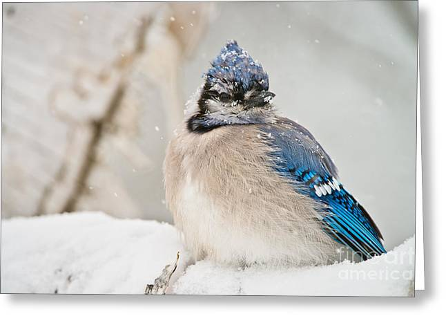 Blue Jay Images Greeting Cards - Blue Jay In Winter Greeting Card by Michael Cummings
