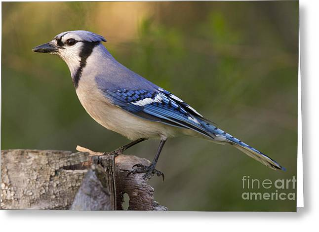 Corvidae Greeting Cards - Blue Jay Greeting Card by Linda Freshwaters Arndt