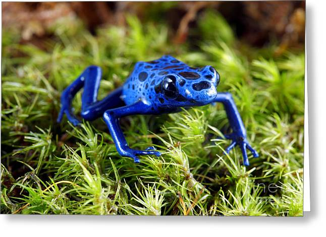 Moss Green Greeting Cards - Blue Poison Dart Frog Greeting Card by Brandon Alms