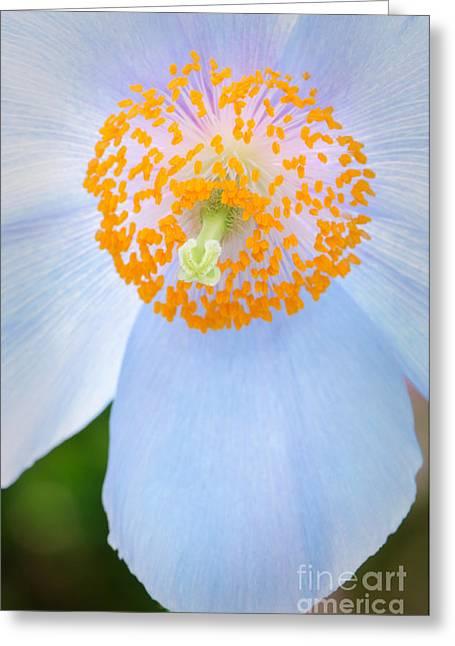 Blue-poppy Greeting Card by Oscar Gutierrez