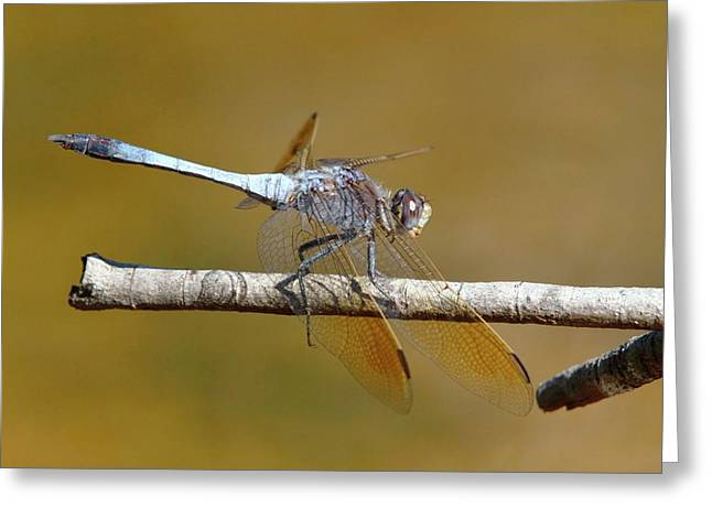 Blue Skimmer Dragonfly Greeting Card by Gerry Pearce
