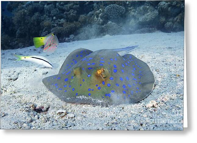 Spotted Blue Fish Greeting Cards - Blue-spotted Ribbontail Ray Greeting Card by Alexander Semenov
