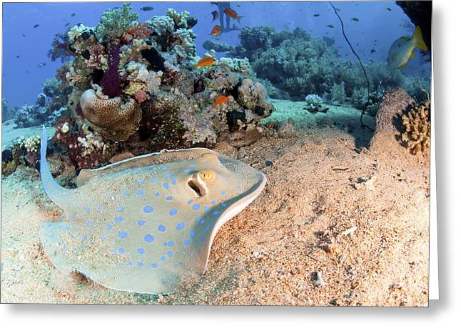Spotted Blue Fish Greeting Cards - Blue-spotted Stingray Greeting Card by PhotoStock-Israel