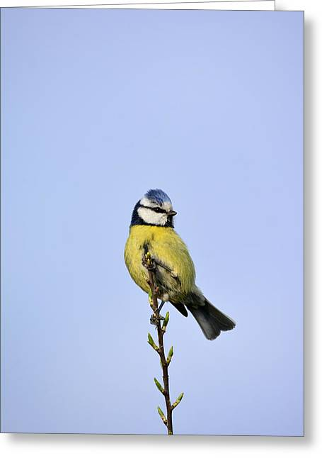 Puppies Mixed Media Greeting Cards - Blue Tit  Greeting Card by Toppart Sweden