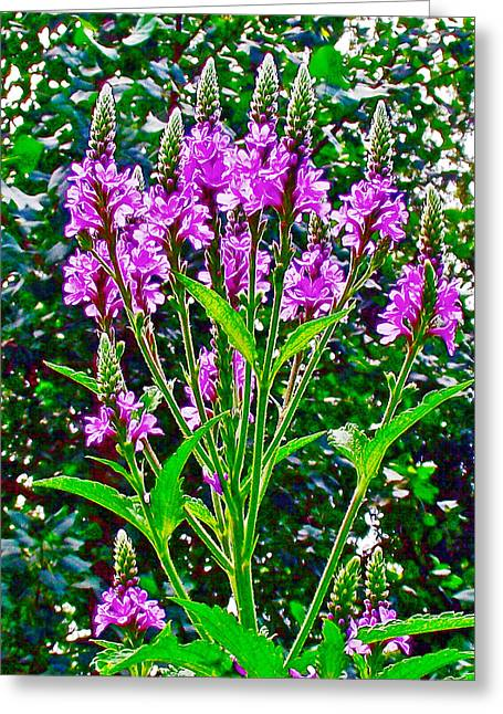 Indiana Flowers Greeting Cards - Blue Vervain in Indiana Dunes National Lakeshore  Greeting Card by Ruth Hager