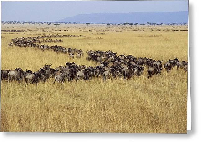 White Beard Photographs Greeting Cards - Blue Wildebeest Migrating Masai Mara Greeting Card by Gerry Ellis