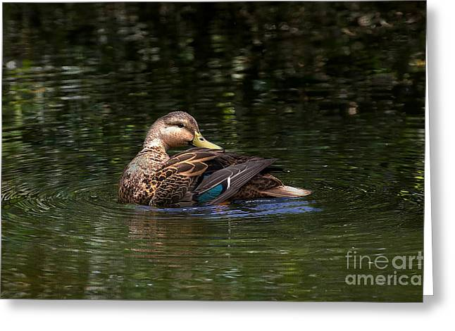 Water Fowl Greeting Cards - Blue Winged Teal Greeting Card by Anne Rodkin