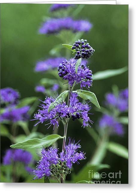 Worcester Greeting Cards - Bluebeard Caryopteris X Clandonensis Greeting Card by Archie Young