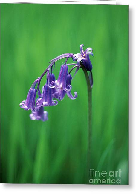 Endymion Greeting Cards - Bluebell Hyacinthoides Non-scripta Greeting Card by Georgette Douwma