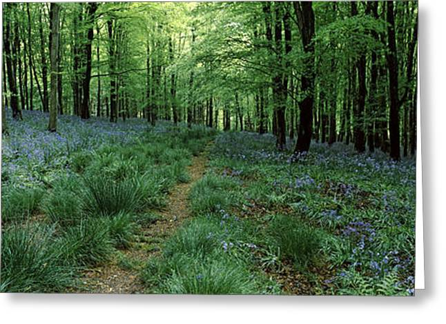Scripta Greeting Cards - Bluebell Wood Near Beaminster, Dorset Greeting Card by Panoramic Images