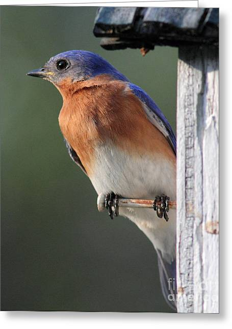 Douglas Stucky Greeting Cards - Bluebird Greeting Card by Douglas Stucky
