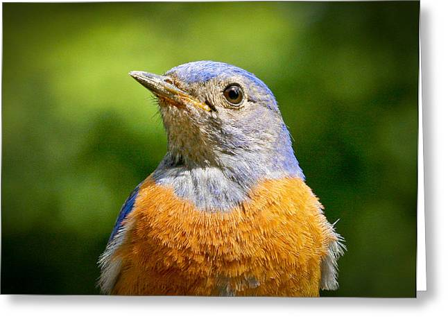 Turdidae Greeting Cards - Bluebird Greeting Card by Jean Noren