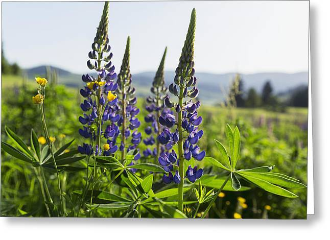 Close Focus Nature Scene Greeting Cards - Bluebonnet Lupine _lupinus Greeting Card by Carl Bruemmer