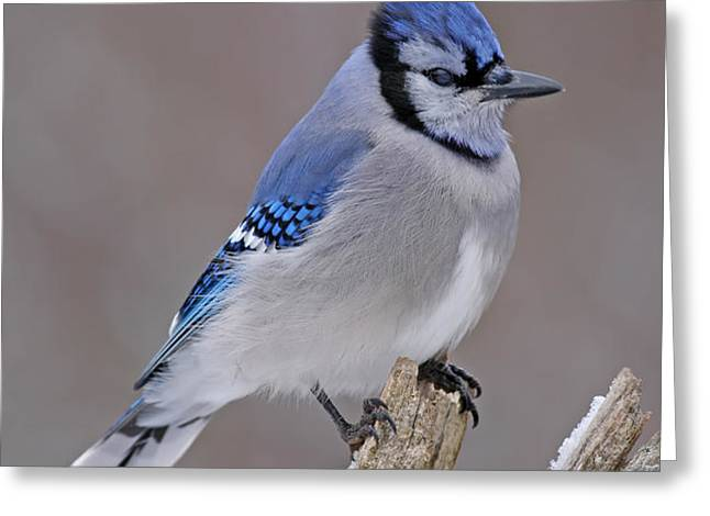 Bluejay Greeting Card by Jim Nelson