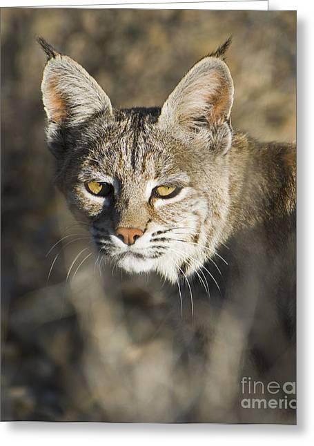 Lynx Rufus Greeting Cards - Bobcat Greeting Card by Dan Suzio