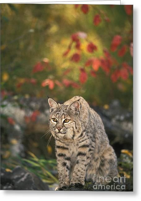 Lynx Rufus Greeting Cards - Bobcat Felis Rufus Greeting Card by Ron Sanford