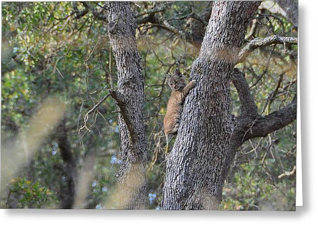 Baby Bobcat Greeting Cards - Bobcat Kitten Greeting Card by Aaron Wages