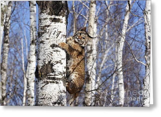 Lynx Rufus Greeting Cards - Bobcat Greeting Card by Linda Freshwaters Arndt