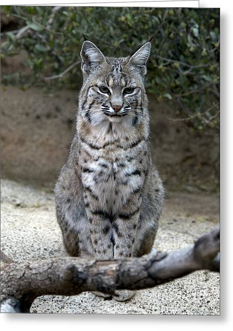 Best Sellers -  - Bobcats Photographs Greeting Cards - Bobcat Greeting Card by Mark Newman