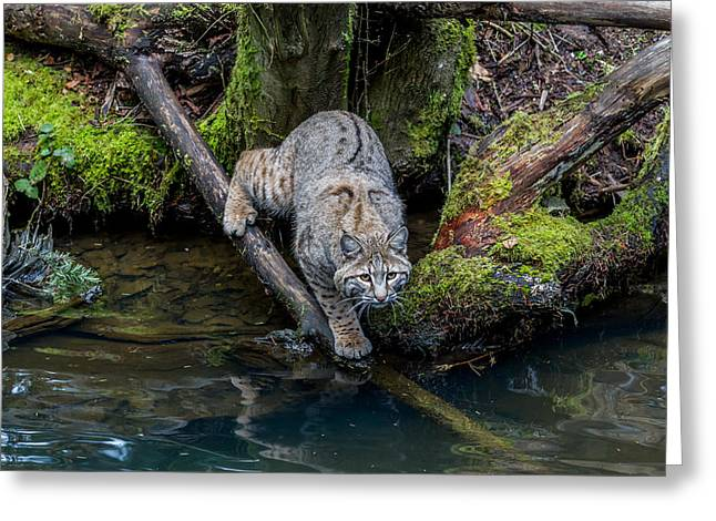 Bobcats Photographs Greeting Cards - Bobcat Greeting Card by Mike Centioli