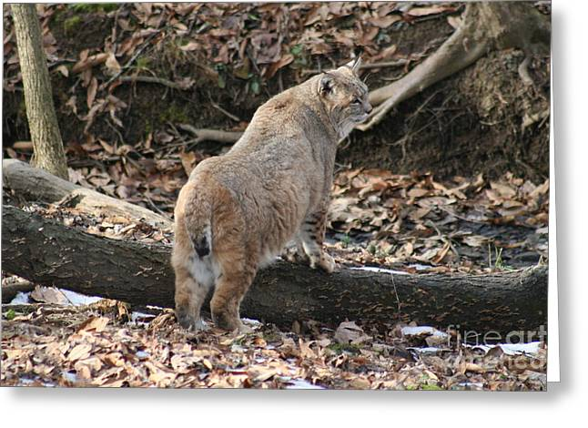 Bobcat Greeting Cards - Bobcat Greeting Card by Roger Look